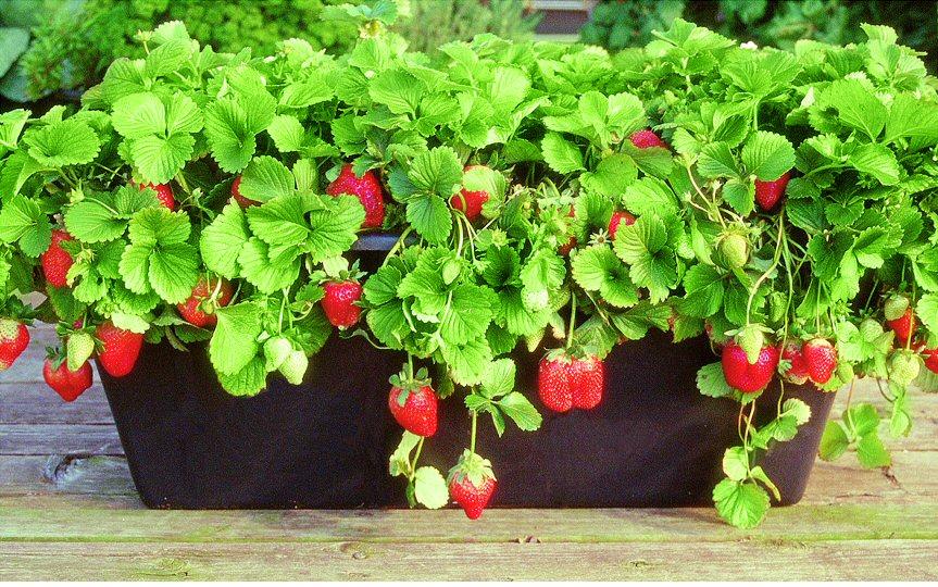 Выращивание клубники по технологии лядова 365