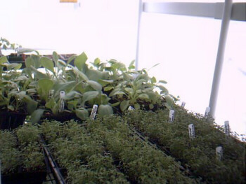 Plants growth is accelerated up to 25% more under diffused light