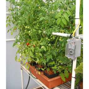 Growing cherry tomatoes in Emilys Garden hydroponic system. Tomatoes grown in a Solexx Conservatory Greenhouse