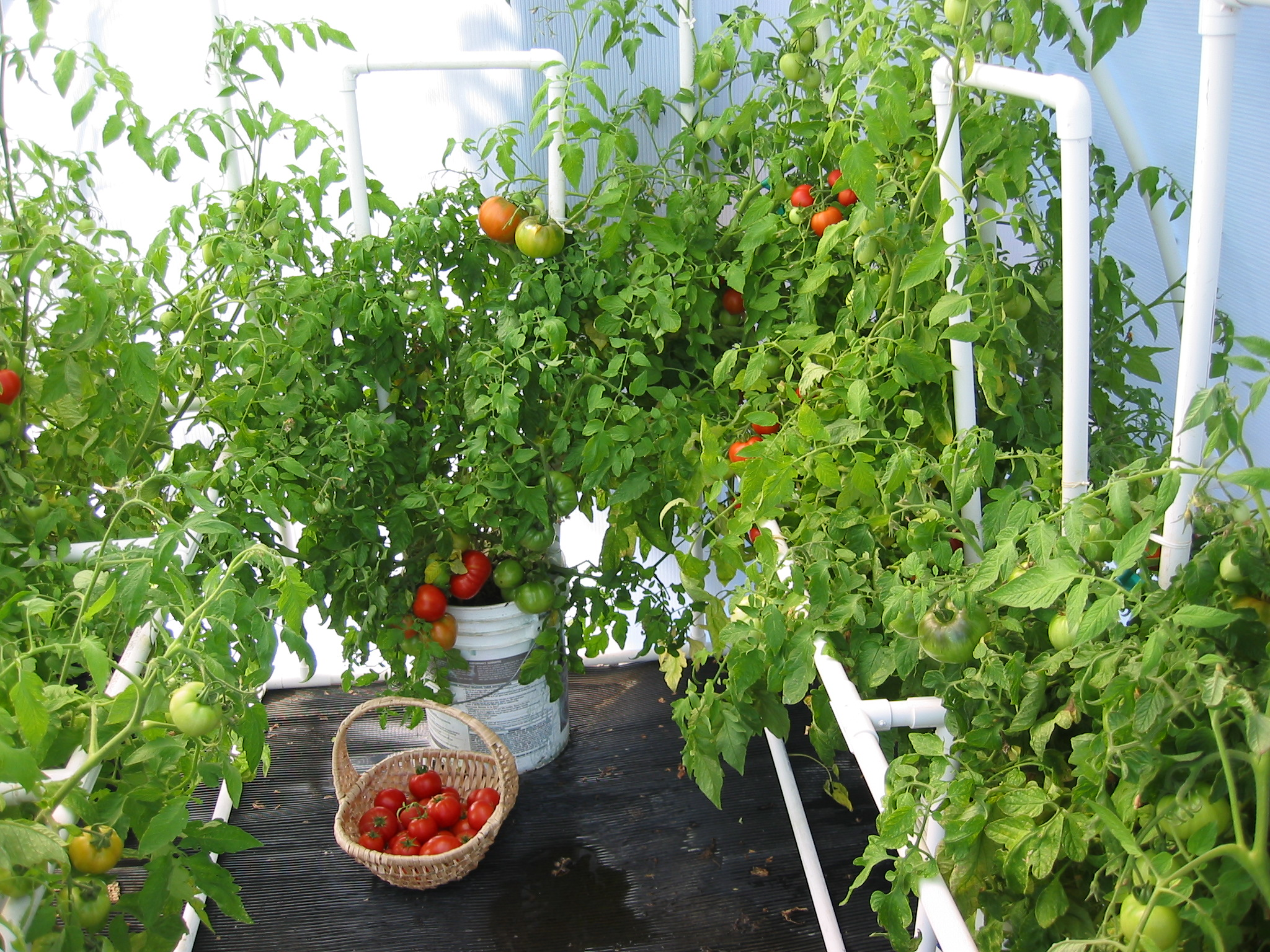 Tomatoes grown in a Solexx Greenhouse